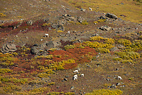 Dall sheep ewes and lambs forage along the slopes of the Brooks range mountains, arctic, Alaska.