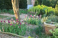 """Jardin de la Ferme du Mont des Récollets: """"La cour d'Eté"""" contre le pignon de la maison avec planté sur gravier, aubépine,tulipes, Euphorbia characias ssp. wulfenii et ifs taillés en cônes. // France, garden of Ferme du Mont des Récollets, planted on gravel, hawthorn, tulips, Euphorbia characias ssp. wulfenii and yew"""