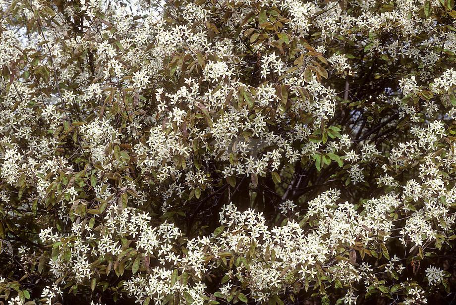 Krentenboompje, Drents- (Amelanchier laevis)