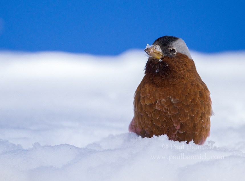 A Gray-crowned Rosy-finch searches for seeds in the snow.
