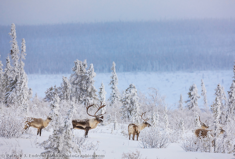Caribou in boreal forest on finger mountain, Alaska
