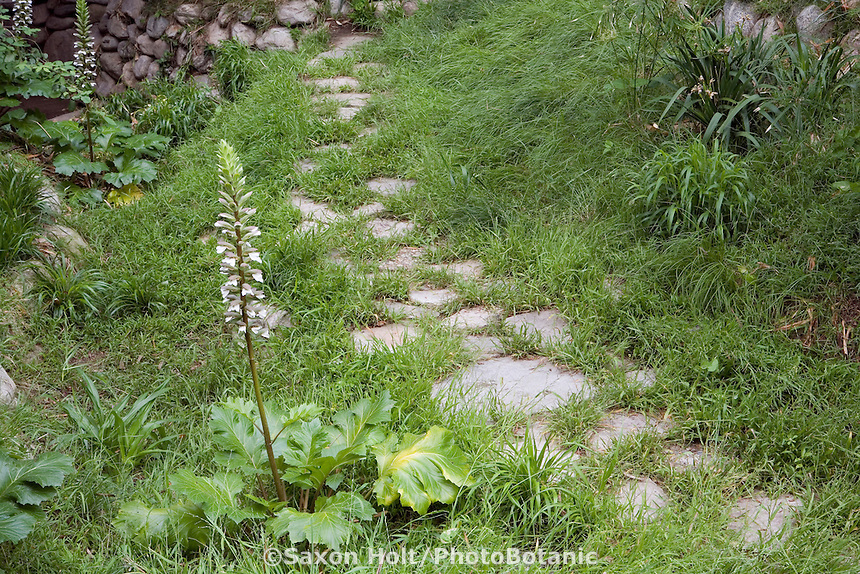 Acanthus by stepping stone path through meadow in John Greenlee's Pomona garden May 2007