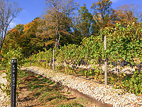 Grapes hang on the vines in October at Dablon Vineyards in Berrien County, Michigan waiting for harbest and being made into wine.