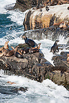 La Jolla Cove, La Jolla, California; California Sea Lions (Zalophus californianus) on the rocky shoreline at La Jolla Cove
