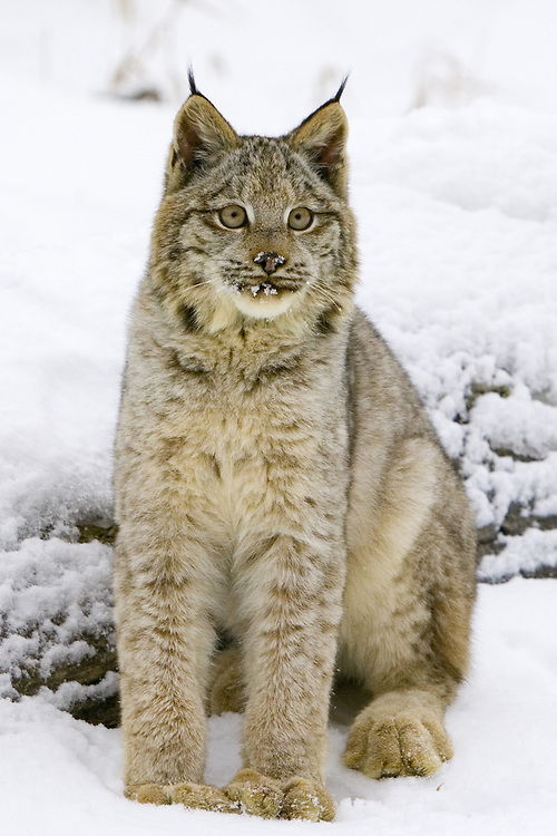Canada Lynx sitting on the snow covered ground - CA