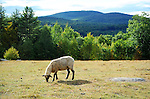 Sheep with a view of Mt. Skatutakee in New Hampshire USA