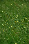 Buttercups in the meadow, Austrian Alps.