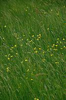 Buttercups in the meadow, Austrian Alps.