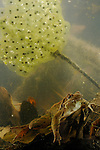 A female Italian Agile Frog (Rana latastei) underwater with eggs, Italy