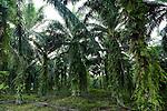 African Oil Palm (Elaeis guineensis) plantation, Tawau Hills Park, Sabah, Borneo, Malaysia