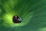 The dappled sun lights a snail in a lotus leaf.
