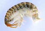 14326-killer_shrimps