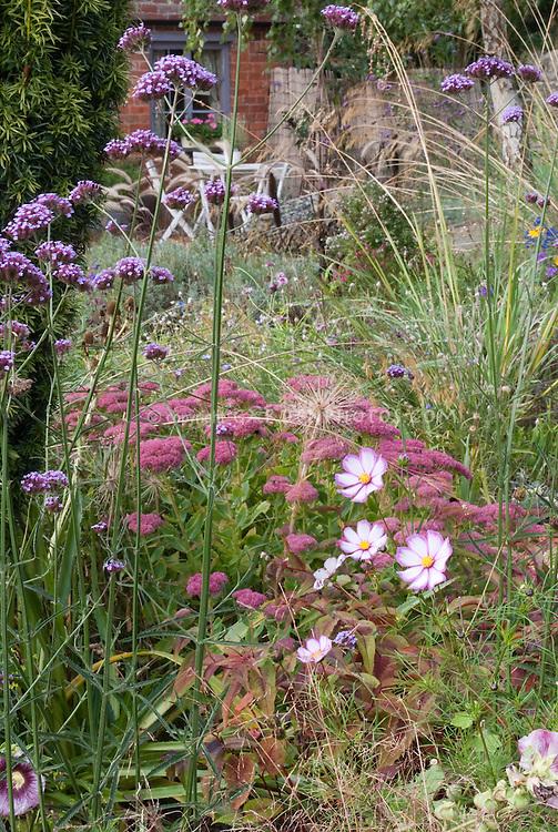 Gardening for Wildlife, particularly butterflies & birds: Verbena bonariensis, Sedum, Cosmos 'Candy Stripe', ornamental grasses in backyard