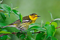 Cape May Warbler (Dendroica tigrina) male in breeding plumage rests in mixed forest along Lake Erie shoreline near Canada and USA border during annual spring migration northward to summer nesting grounds. An estimated 83% of all Cape May Warblers breed within Canada's boreal forest..