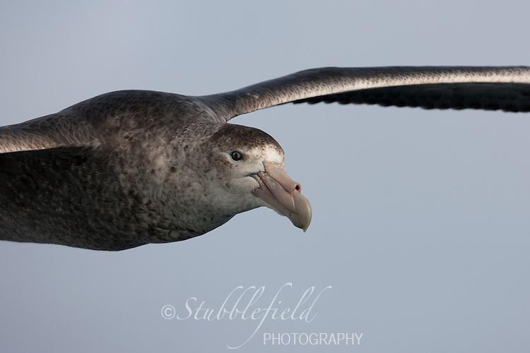 Southern Giant-Petrel (Macronectes giganteus), immature in flight over the Scotia Sea.