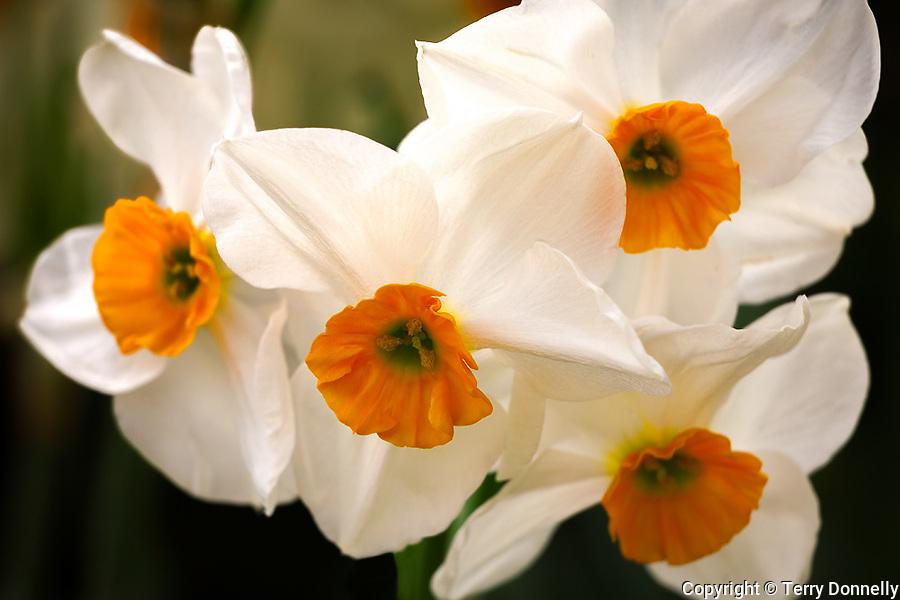 Vashon, WA<br /> Daffodil 'Geranium' blossom detail