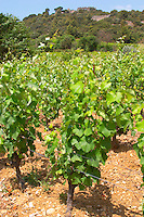 Domaine d'Aupilhac. Montpeyroux. Languedoc. Vines trained in Gobelet pruning. Vine leaves. Mourvedre grape vine variety. Chateau de Castellas ruin. France. Europe. Vineyard.