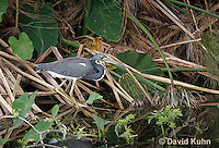 0111-0923  Tricolored Heron (Louisiana Heron), Egretta tricolor  © David Kuhn/Dwight Kuhn Photography