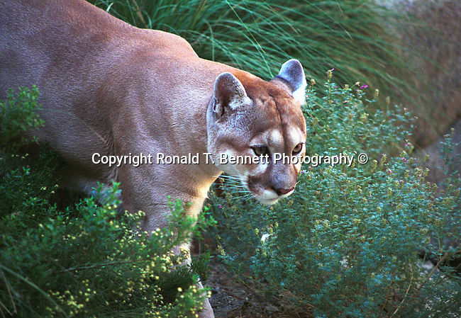 Mountain lion or cougar searching for food, Cougar, Mountain lion, Mt. Lion, Puma concolor, puma, pantther, felime, felinae, pantherinae, Americas, solitary cat, Western Hemisphere, predator, Puma concolor, big cat, generalist predator, ambush predator, Fine Art Photography, Ronald T. Bennett (c) cat, disambiguation, felis catus, hunt vermin, growling, hissing, puring, chirping, clicking, Felis silvestris lybica, felidae, felinae, felis, Fine Art Photography by Ron Bennett, Fine Art, Fine Art photography, Art Photography, Copyright RonBennettPhotography.com ©