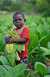 A small boy helps his parents farm tobacco in Dofu, an area in northern Malawi which has been hit hard by drought and hunger.  Tobacco is a cash crop for many families in the area, yet falling tobacco prices, coupled with food crops diminished by drought, have made it hard for many families to survive.