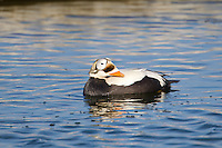 """Male spectacled eider, named for its ringed """"spectacles"""" eye marking, swims in a tundra pond in Alaska's arctic."""