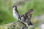 Least Auklets (Aethia pusilla), pair perched together, one flapping wings, Antone Beach, St. Paul Island, Pribilofs, Alaska, USA