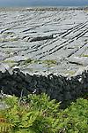 Fougères et dalles de calcaire. ile d'Inishmore.Ferns and limestone walls . Inishmore island