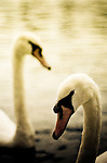 Two swans swimming on lake