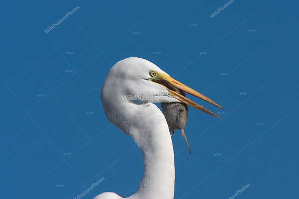 Great Egret (Casmerodius alba) eating a meadow vole (Microtus californicus)