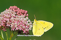03074-00318 Orange Sulphur butterfly (Colias eurytheme) on Swamp Milkweed (Asclepias incarnata) Marion Co. IL