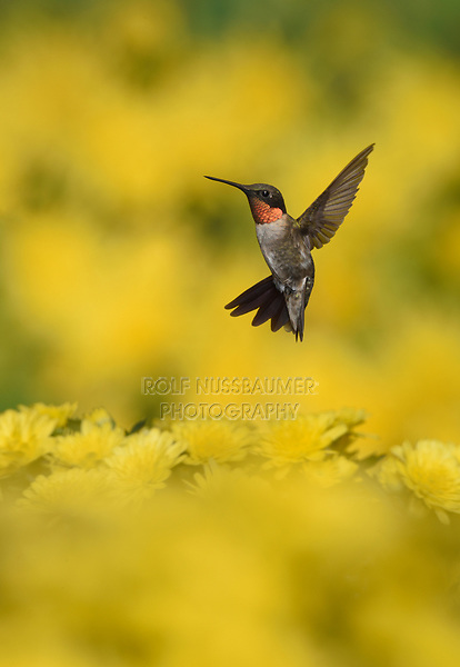 Ruby-throated Hummingbird (Archilochus colubris), male in flight feeding over yellow flowers, Hill Country, Texas, USA
