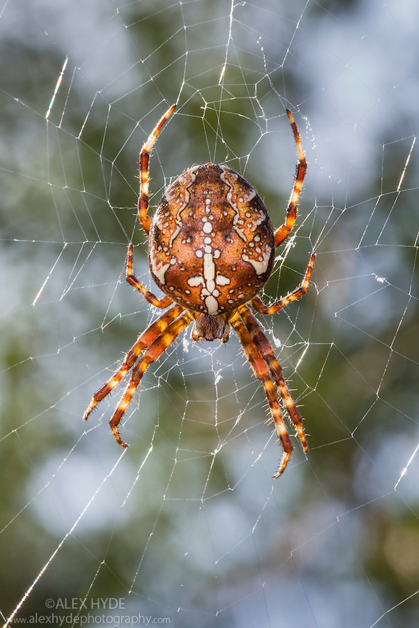 Garden Spider female (Araneus diadematus) hanging in web. Peak District National Park, Derbyshire, UK. September.