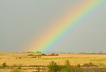 Rainbow falling on the bison herd along the prairie hillside