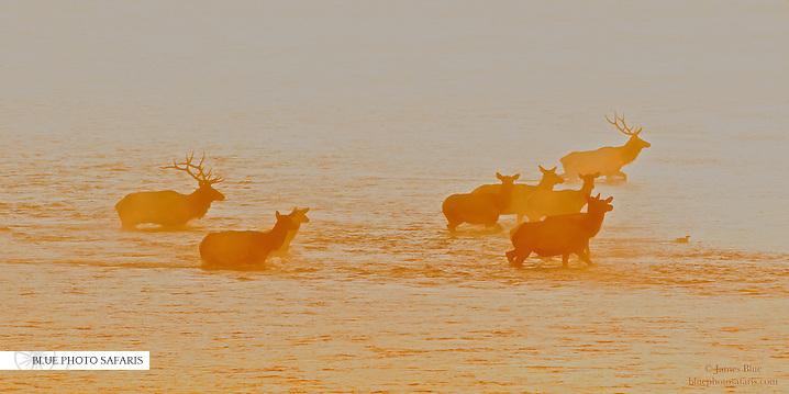 Bull elk and his harem crossing the Snake River