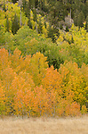 Quaking aspen (Populus tremuloides), fall, Green Creek area, Toiyabe National Forest, California