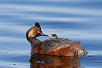 Eared Grebe feeing its' young
