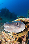 Conger Eel on the wreck of the Teti, Vis, Croatia which lies between 10 and 33 metres