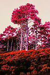 Infra red  image of Caledonian pine in Abernethy forest Reserve Scotland. <br /> An old growth forest in the foothills of  the Cairngorms. Deep heather provides a home to a large biodiversity.