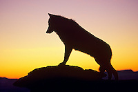 Gray Wolf (Canis lupus) silhouetted against morning sunrise.  Western U.S.