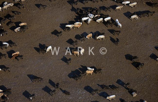 Cows in the feedlot. Colorado