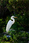 A white Great Egret stands elegantly back lit in a red Mangrove key.