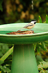 Chickadee taking a bath