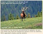 Elk (wapiti), Rocky Mountain National Park, Colorado. John leads private, photo tours throughout Colorado, including Denver and Boulder.