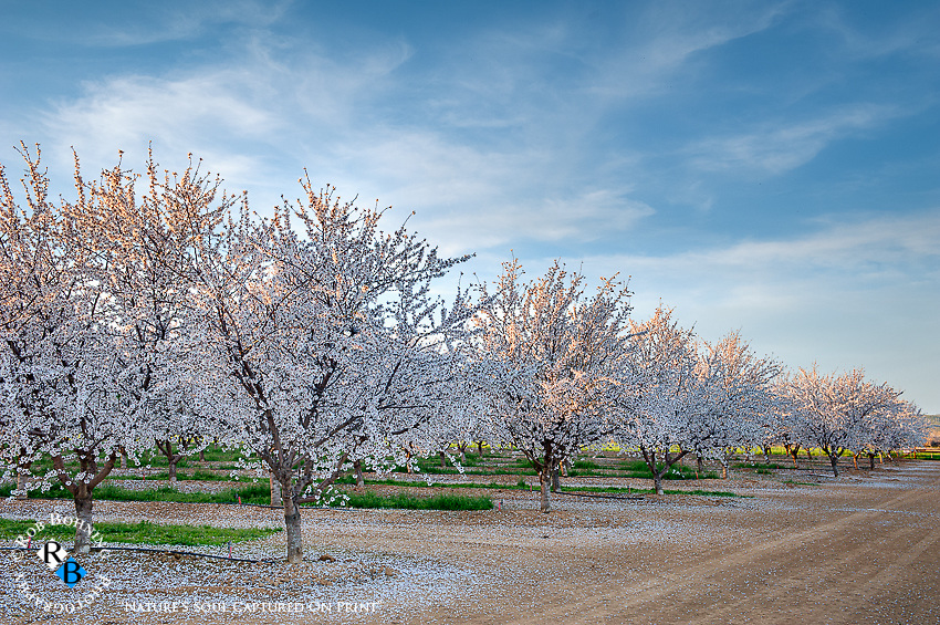 Late afternoon sun streaks through the central valley almond blossoms
