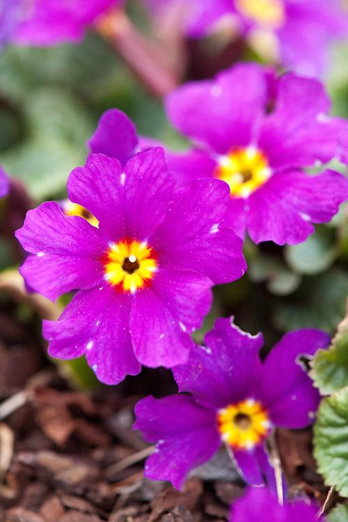 Primula x juliana 'Wanda', glasshouse, early March.