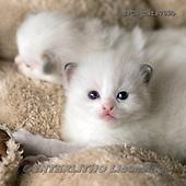 Xavier, ANIMALS, REALISTISCHE TIERE, ANIMALES REALISTICOS, cats, photos+++++,SPCHCATS789B,#a#