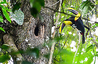 Two toucans? Twocans? Actually three or more, as one was standingguard while the other flew back and forth with food for their young insude the tree hole. By Art Harman