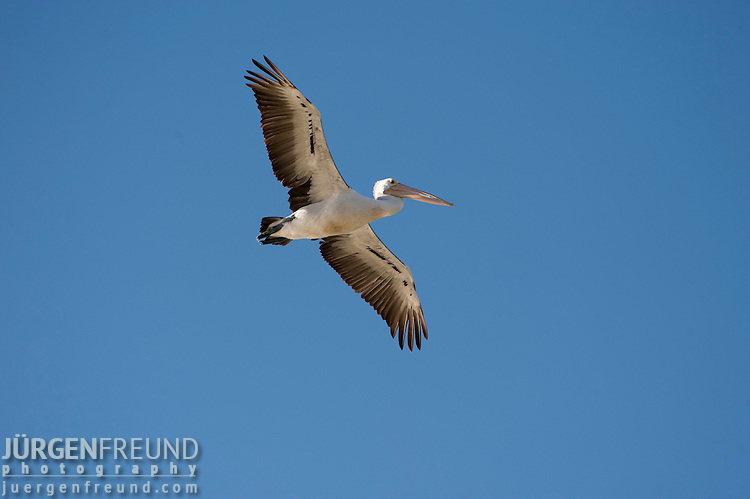 Australian Pelicans(Pelecanus conspicillatus) fly the skies along the Cooper Creek