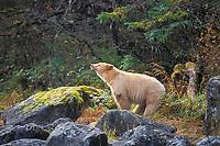 spirit bear, kermode, black bear, Ursus americanus, mother scenting the air in the rainforest of the central British Columbia coast, Canada