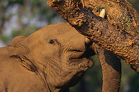 African elephant (Loxodonata africana) bull shaking acacia tree to dislodge seedpods which it will then pickup off ground and eat.  Mana Pools National Park, Zimbabwe.  Should it find that it can push the tree over it will do so and eat pods, limbs and leaves.